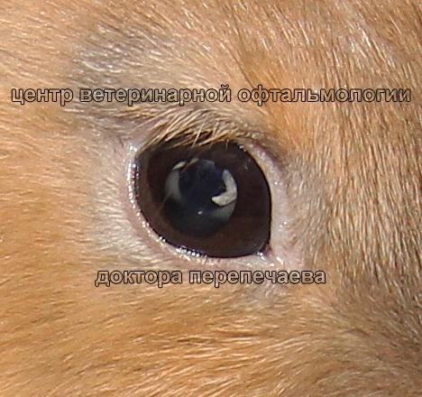 катаракта у хорька фото